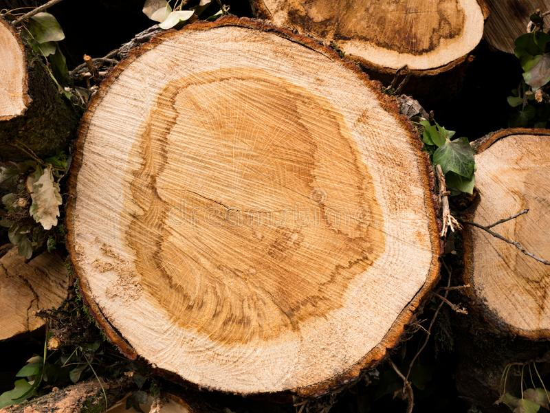 Cross section of a tree. Top view of tree rings.  royalty free stock image
