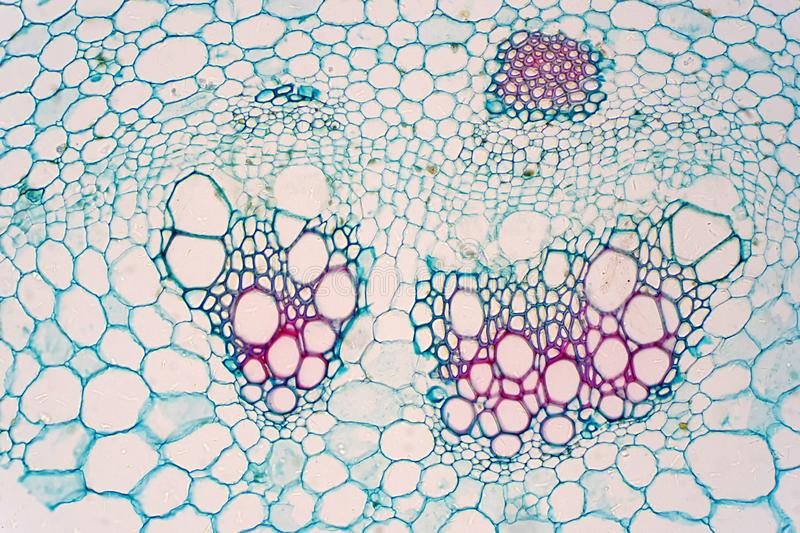 Cross sections of plants stem show plant vascular tissue under microscope view. For education royalty free stock images