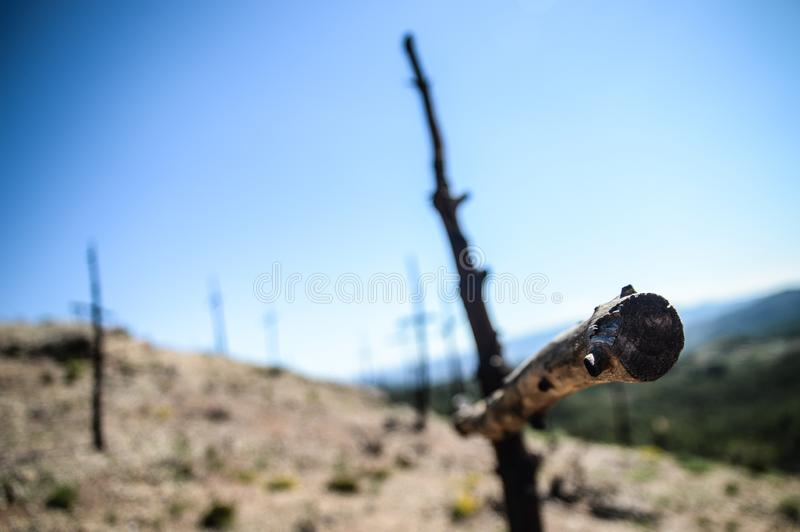 Cross shaped trees after forest fire. Cross shaped trees after a fire has burned the forest royalty free stock photo