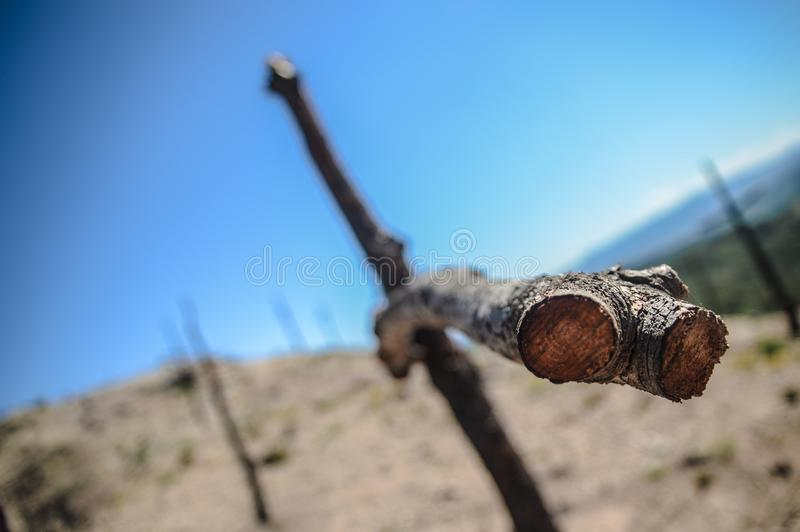 Cross shaped trees after forest fire. Cross shaped trees after a fire has burned the forest stock photos