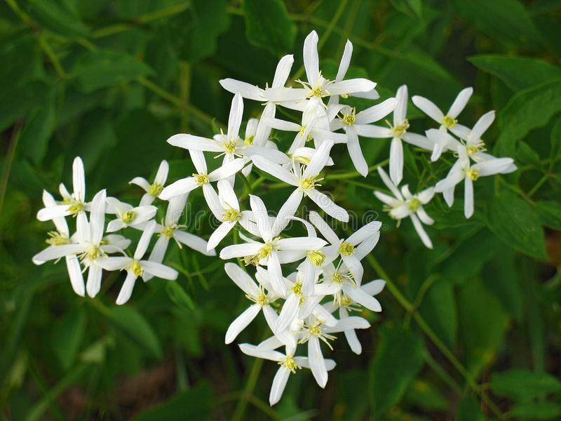 Cross-shaped white flowers on green closeup stock images