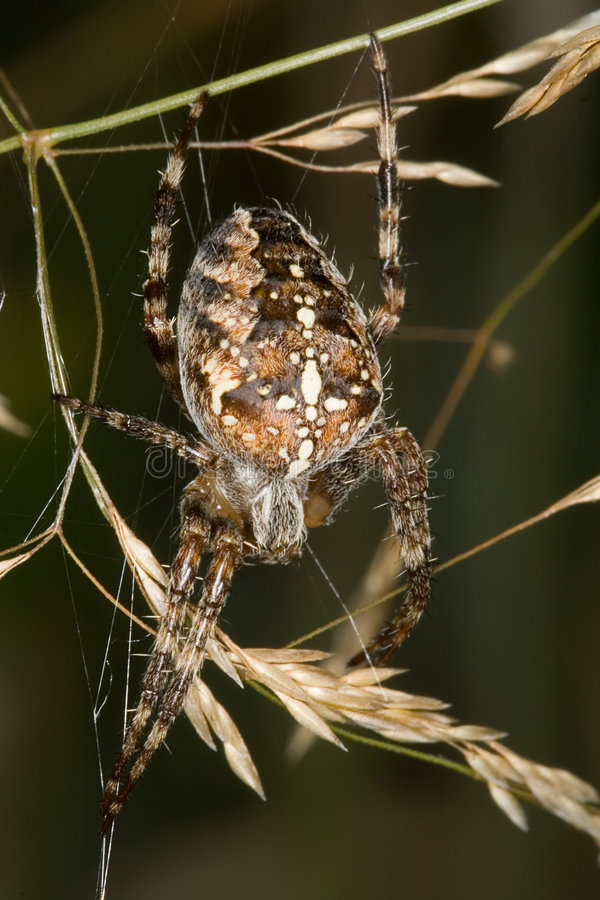 Free Cross Spider 1 Stock Images - 6723914