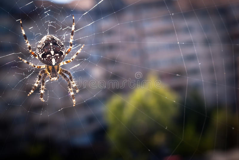 Download Cross Spider stock photo. Image of outdoors, posing, garden - 21230028