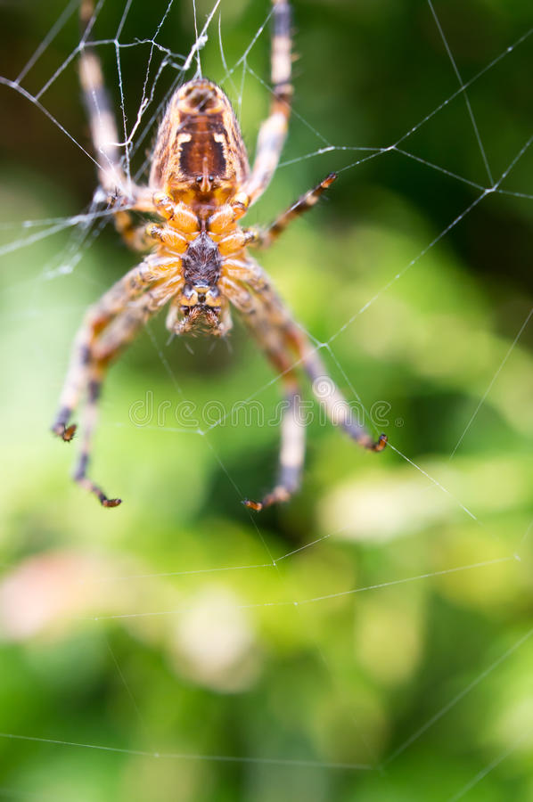 Download Cross spider stock image. Image of garden, araneus, spider - 22847967