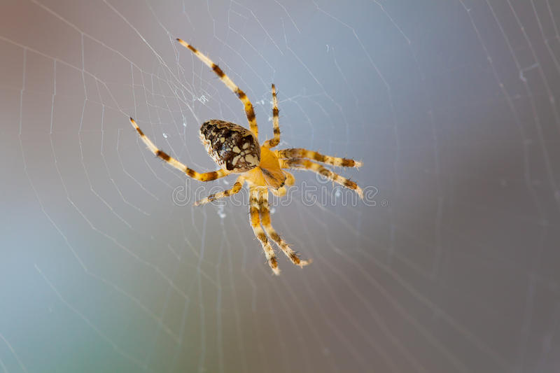 Download Cross spider stock image. Image of nature, malicious - 24985971