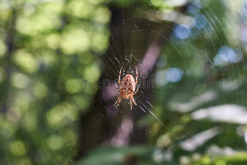 Cross tee spider in its network. Cross tee spider in its network eats prey stock image