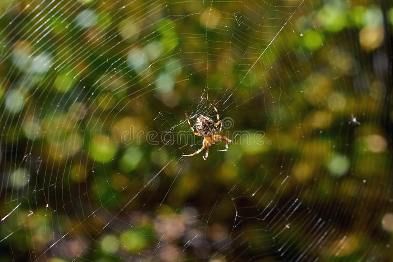 Cross tee spider. Cross tee spider in its network eats prey stock photography