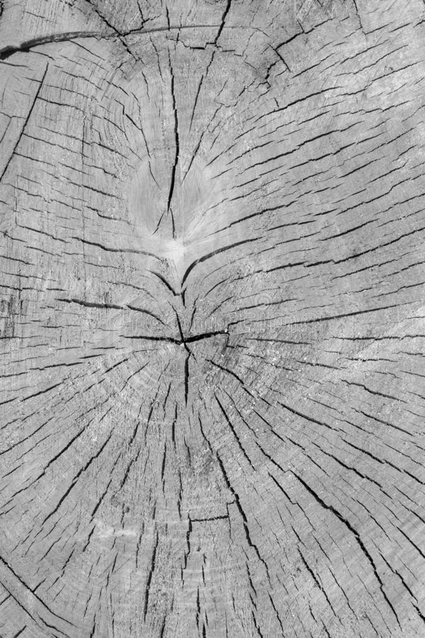 Cross the texture of a fresh-cut tree at the cut. royalty free stock image