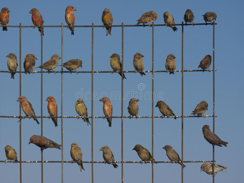 Download CrossBills Royalty Free Stock Photos - Image: 32155788