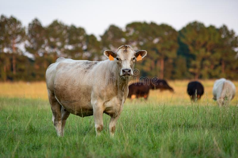 Crossbred beef cattle herd in pasture. White Charolais crossbred beef cow looking at the camera with other cows grazing in the background out of focus stock photography