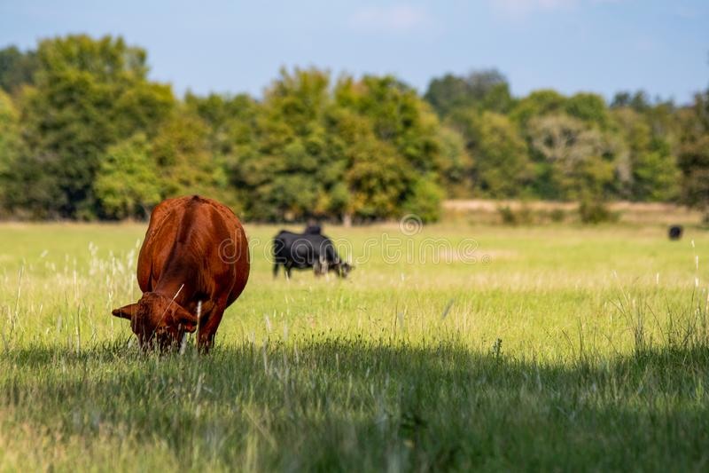 Crossbred cattle grazing in a summer pasture. Red crossbred beef cow grazing in the foreground with other cows grazing in the background out of focus royalty free stock photo