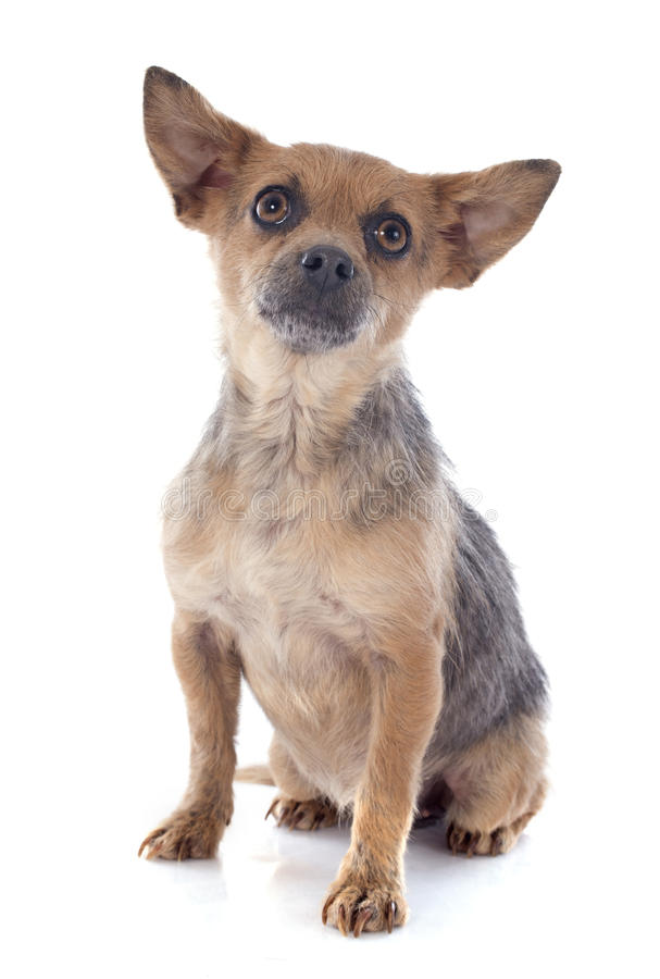 Crossbred chihuahua. In front of white background stock photography
