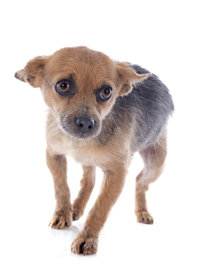 Crossbred chihuahua. In front of white background stock images