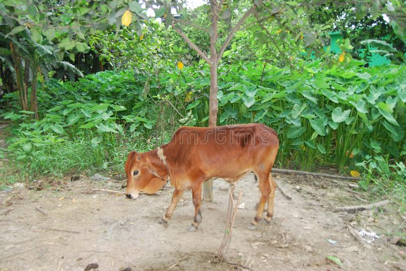 cow Dairy cattle obtained from a cross between individuals of two genetically different royalty free stock photos