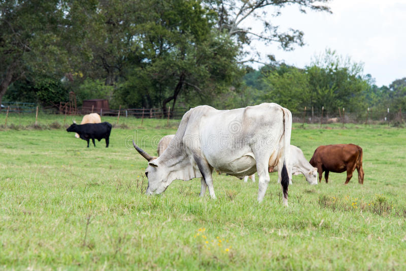 Crossbred cows in a Southern pasture. A group of crossbred cattle grazing on a bermuda grass pasture royalty free stock images
