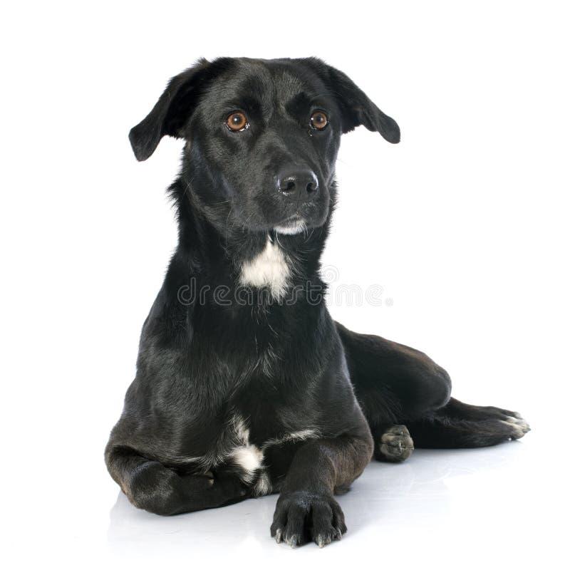 Crossbred labrador royalty free stock image