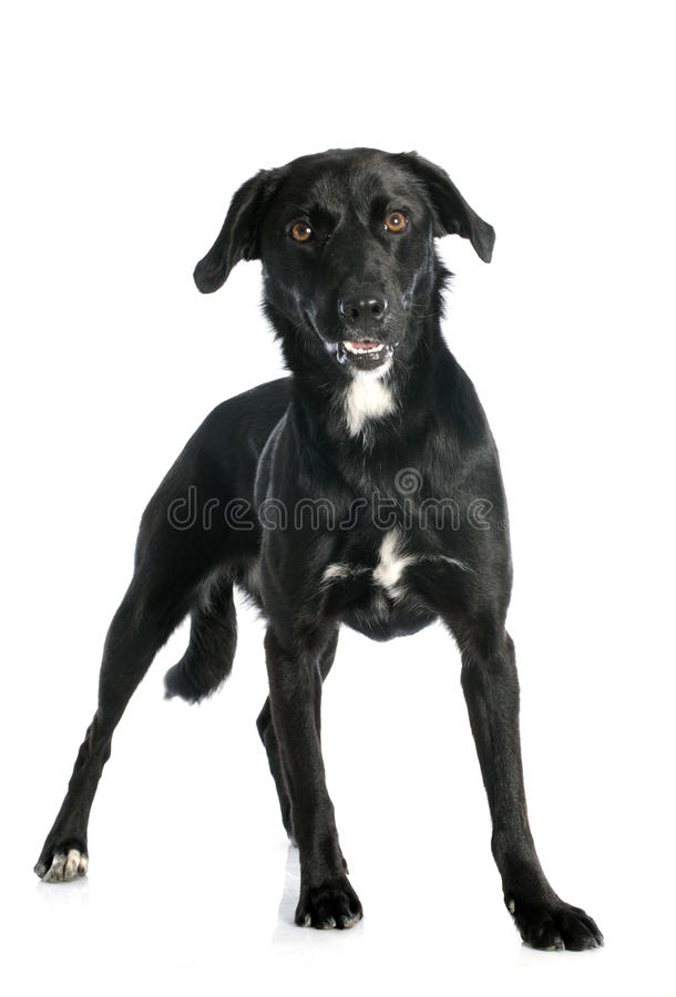 Crossbred labrador. Retriever in front of white background royalty free stock image