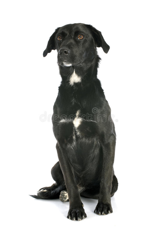 Crossbred labrador royalty free stock image