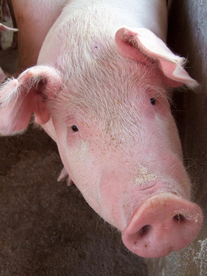 Crossbred pig. Closeup of crossbred Landrace and Large White pig royalty free stock photography