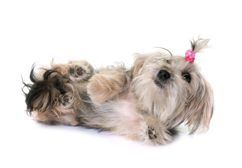 Crossbred yorkshire terrier. In front of white background royalty free stock images