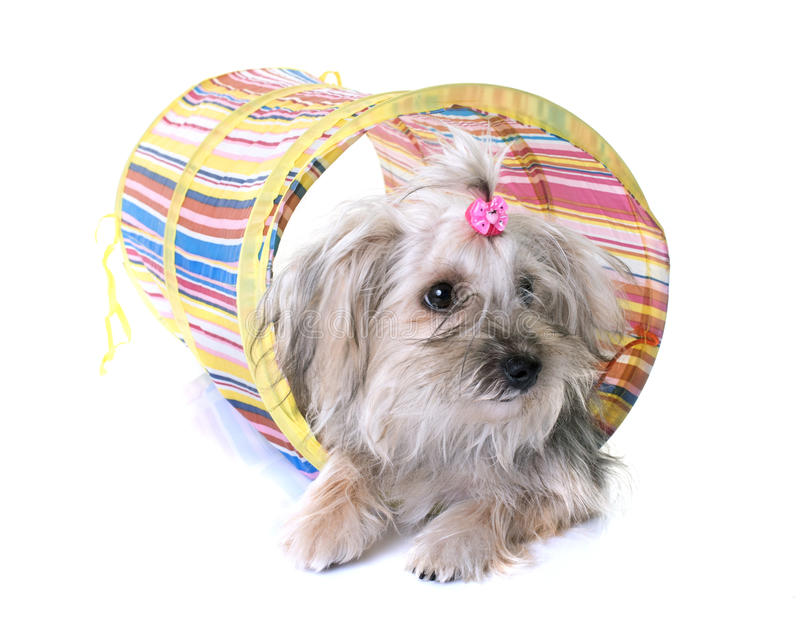 Crossbred yorkshire terrier. In front of white background stock image