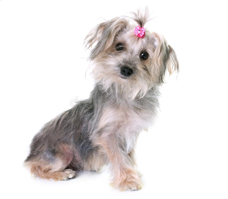 Crossbred yorkshire terrier. In front of white background stock photos