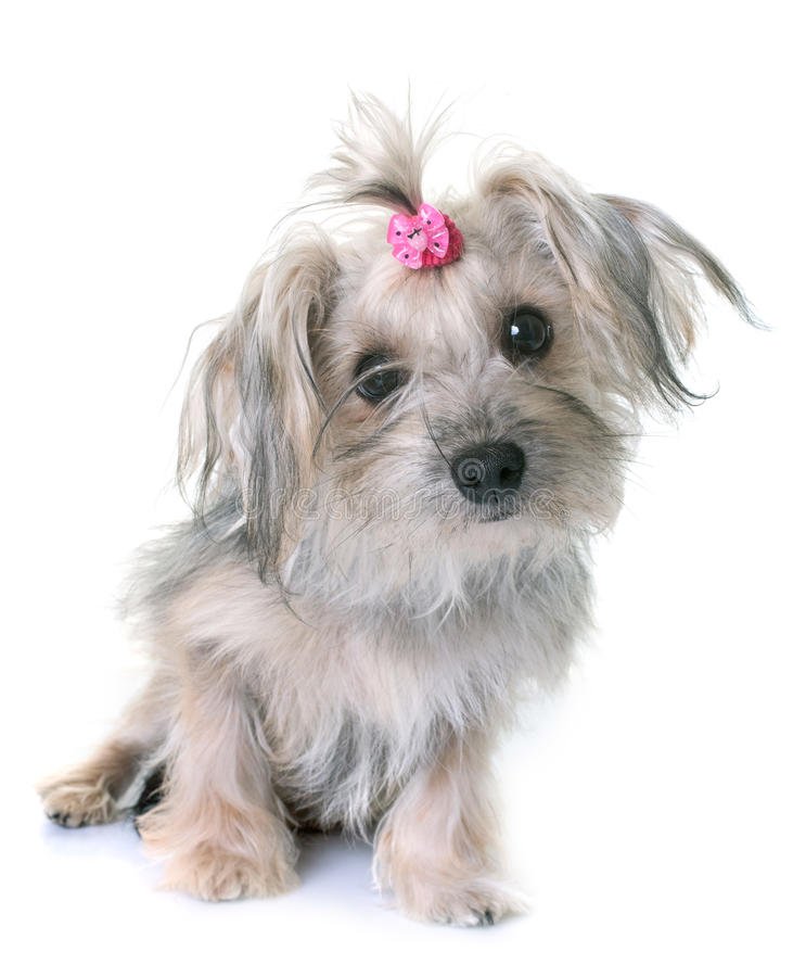 Crossbred yorkshire terrier. In front of white background royalty free stock photo