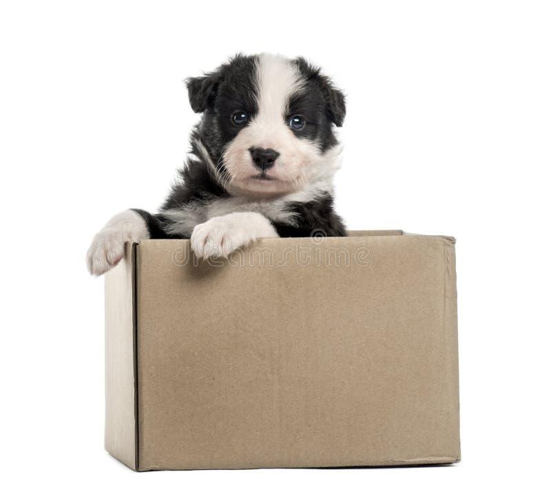 Crossbreed выходить щенка коробки изолированной на белизне стоковое изображение