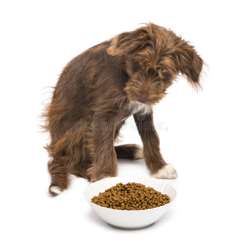 Crossbreed, 5 months old, sitting behind a bowl full of dog food royalty free stock image