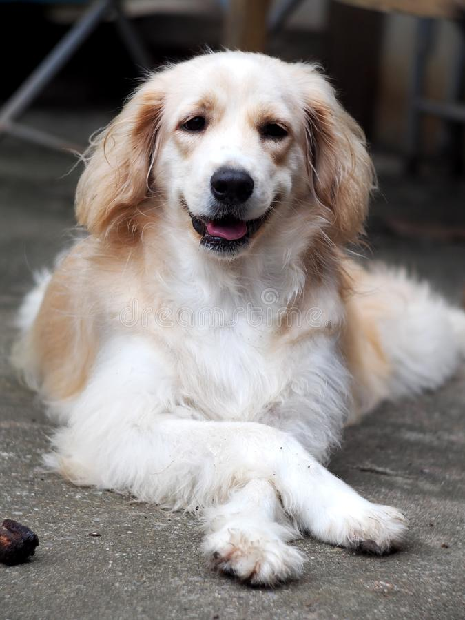 Crossbreed dog portraits on garage floor. Cute lovely white long hair young crossbreed dog portraits acting on garage floor outdoor making smiling face waiting royalty free stock images