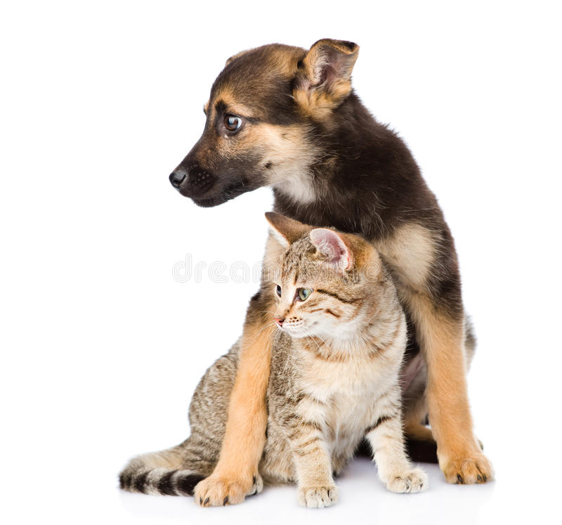 Crossbreed dog and small tabby cat. isolated on white background stock photo