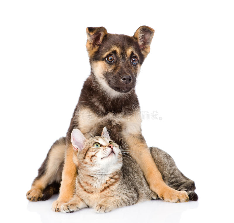 Crossbreed dog and small tabby cat. isolated on white background stock photos