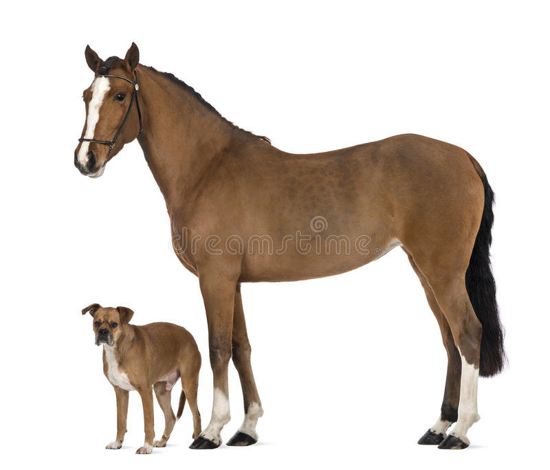 Download Crossbreed Dog Standing Next To A Female Andalusian, 3 Years Old, Also Known As The Pure Spanish Horse Or PRE Stock Photo - Image: 29014152