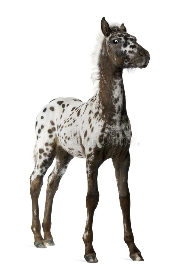 Crossbreed Foal between a Appaloosa and a Friesian horse, 3 months old royalty free stock photo