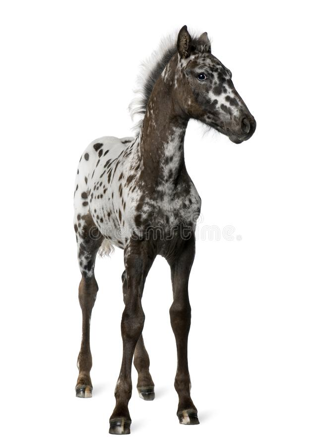 Crossbreed Foal between a Appaloosa and a Friesian horse, 3 months old royalty free stock images