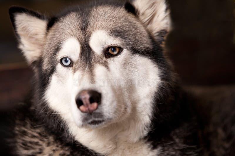 Download Crossbreed husky malamut stock photo. Image of portrait - 7681184