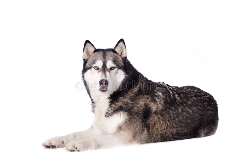Download Crossbreed Husky And Malamut Looking At You Stock Image - Image: 7681223