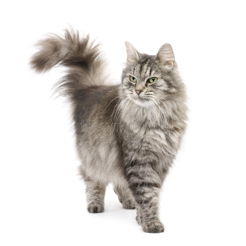 Crossbreed Siberian cat and persian cat. Crossbreed Siberian cat et persian catin front of a white background royalty free stock photo