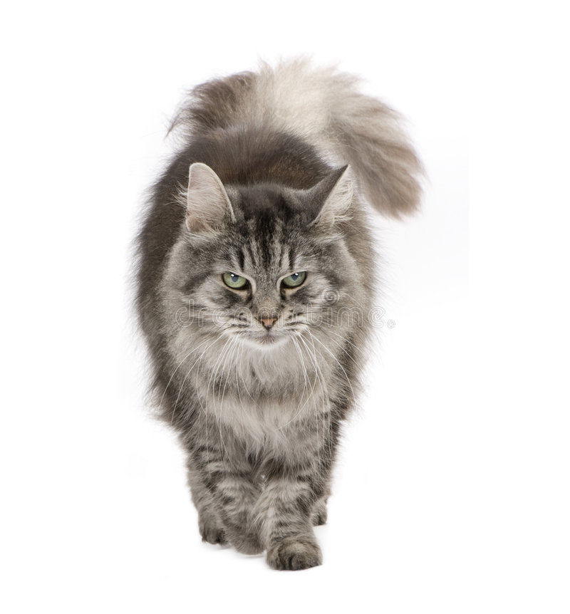 Crossbreed Siberian cat and persian cat royalty free stock images