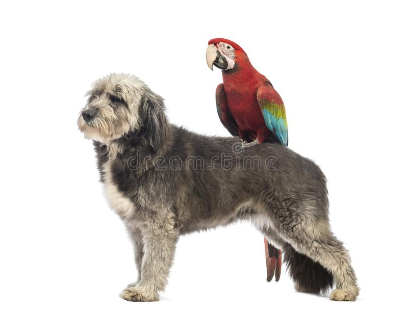 Crossbreed, 4 years old, standing with a Green-winged Macaw, Ara chloropterus, 1 year old. Standing on its back in front of white background stock photos