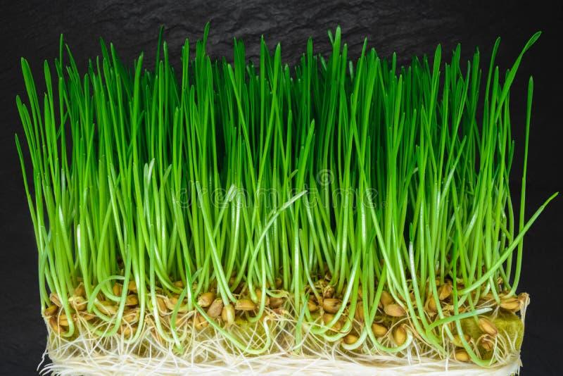 Crosscut ontsproot tarwe met zichtbare groene spruiten, zaden en witte wortels op zwarte steenoppervlakte als achtergrond royalty-vrije stock afbeelding