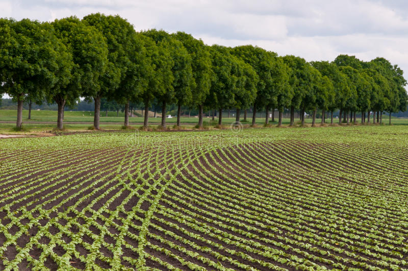Crossed Rows Of Small Common Bean Plants Royalty Free Stock Photos