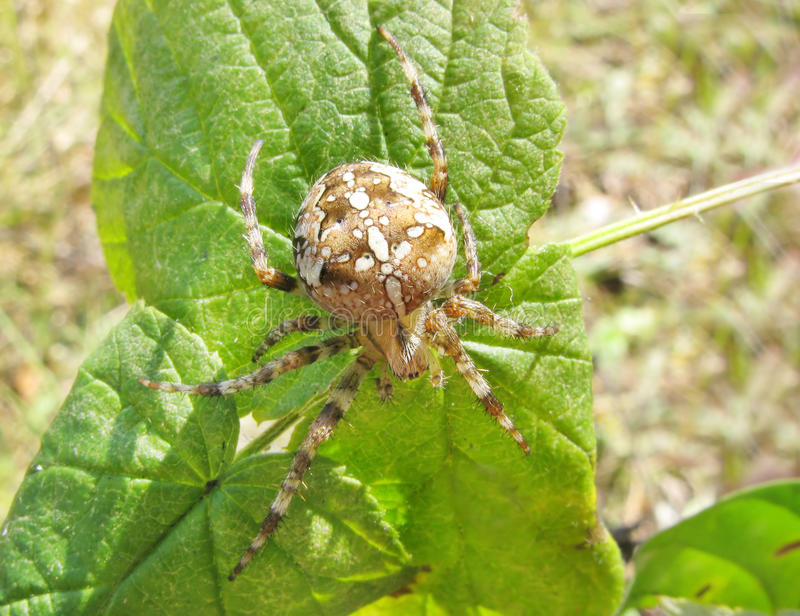Crossed yellow spider on the leaf. Crossed yellow spider with long legs on the leaf stock images