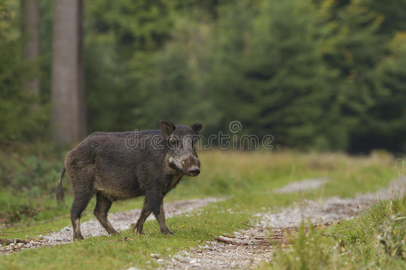 Download The crossing stock photo. Image of snow, forest, mammal - 25702888