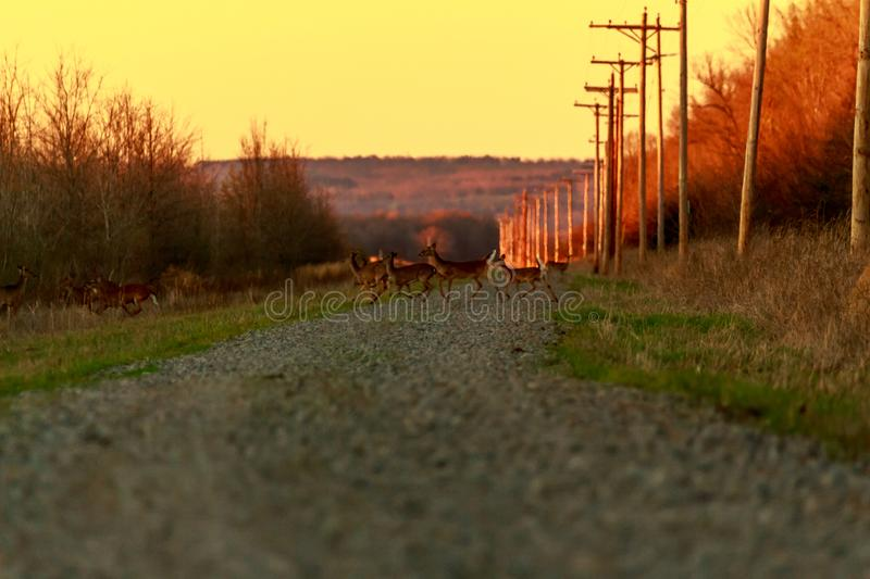 The Crossing. While driving down a back road in Bald Knob Wildlife Refuge a family of deer crossed the road. 2017 royalty free stock images