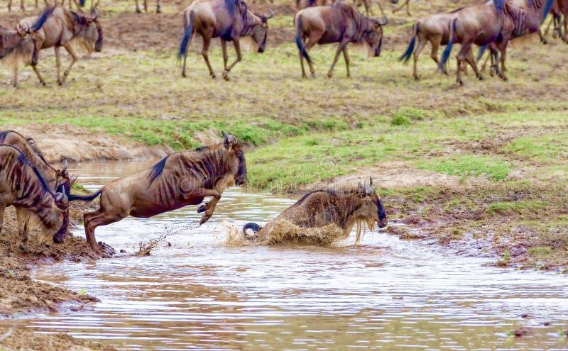 Crossing. Kenya. National park. The wildebeest and the zebras cr. Crossing Kenya. National park. Wildebeests and zebras cross the river. Concept of wildlife stock images