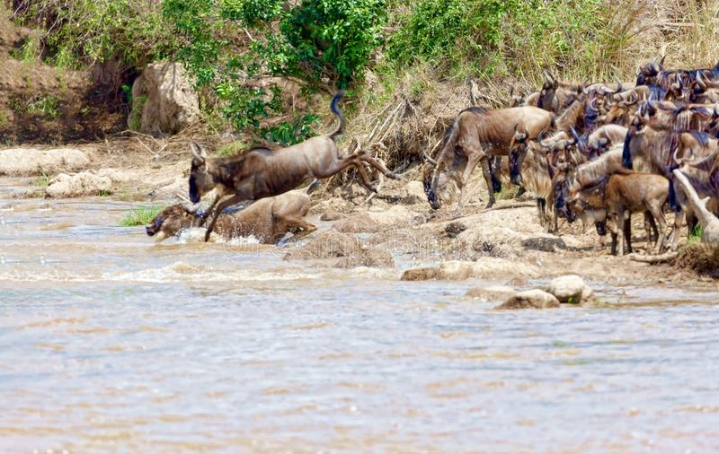 Crossing. Kenya. National park. The wildebeest and the zebras cr. Crossing Kenya. National park. Wildebeests and zebras cross the river. Concept of wildlife stock photography