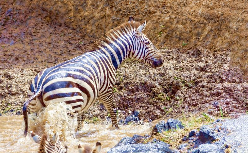 Crossing. Kenya. National park. The wildebeest and the zebras cr. Crossing Kenya. National park. Wildebeests and zebras cross the river. Concept of wildlife stock photos