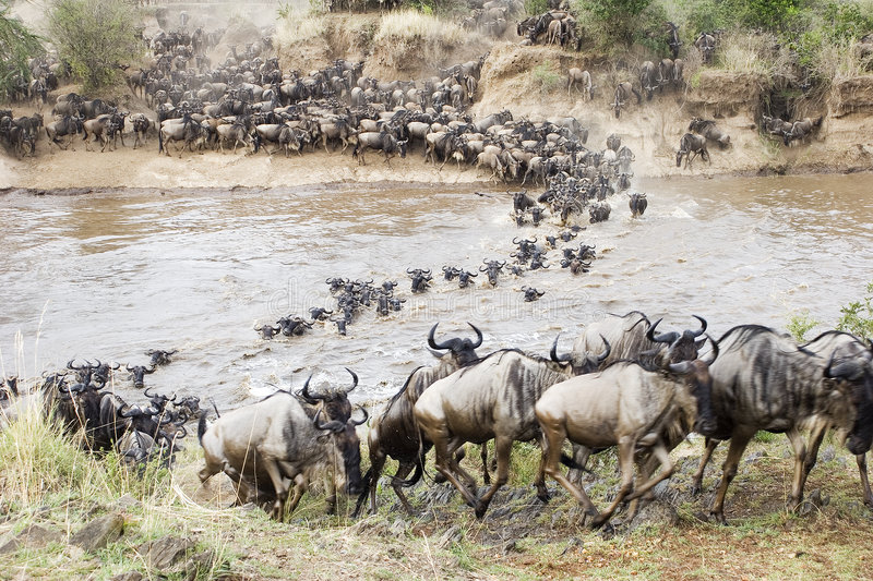 Crossing the Mara. Hundreds of wildebeest cross the Mara. The river is dangerous because crocodiles will sttack several of them royalty free stock images