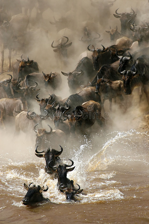 Crossing n. 1. More than a million wildebeests migrates every year between Masai Mara NP and Serengeti NP. In their journey they cross several times Mara River